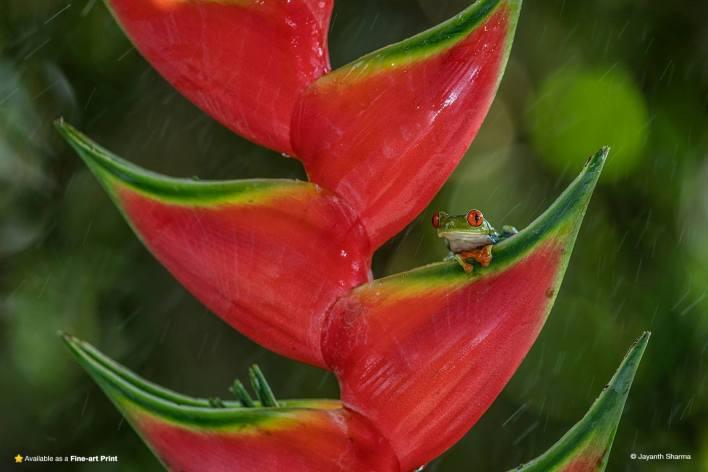 frog under a leaf in rain