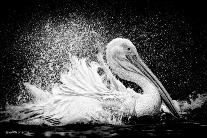 black and white photo of a pelican