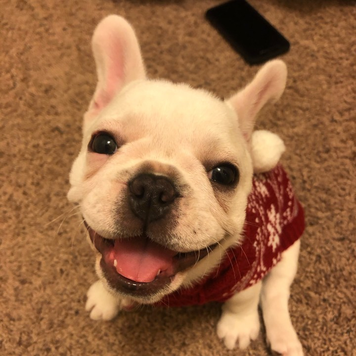 Phoebe, The Little Frenchie