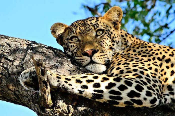 Nick, the leopard of Timbavati