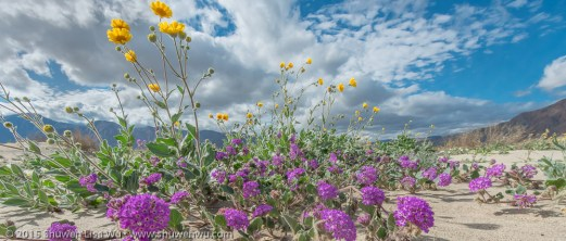 Anza Borrego Wildflowers