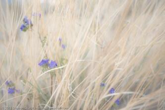 Anza Borrego Wildflowers