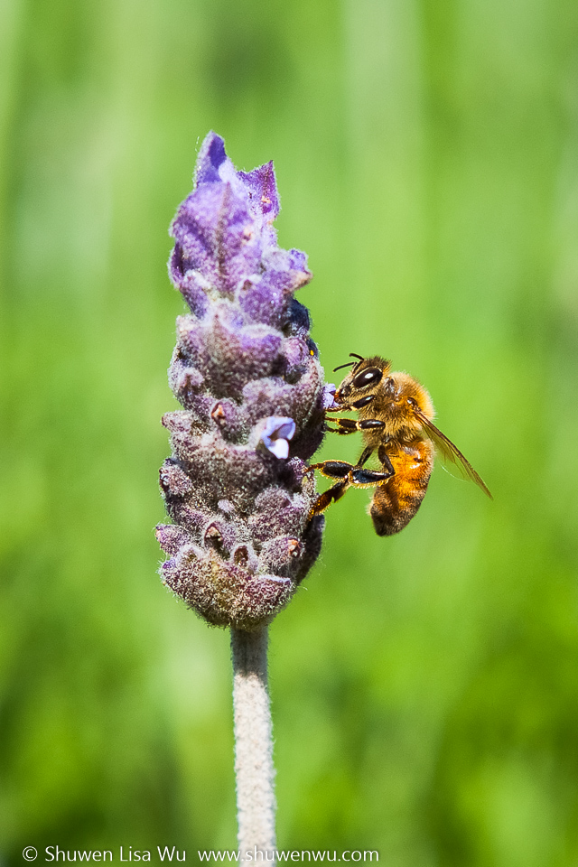 Bee on Lavender - Keys Creek Lavender Farm, Valley Center, CA.