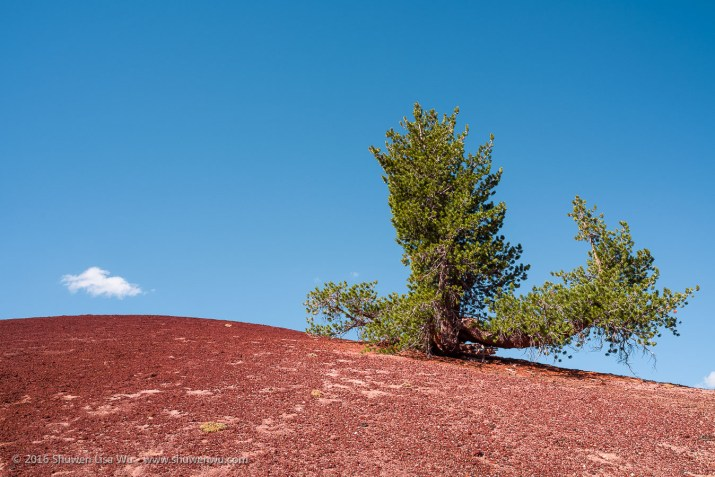Pine tree and red pumice at the Red Cones, Mammoth Lakes, California, September 2016.