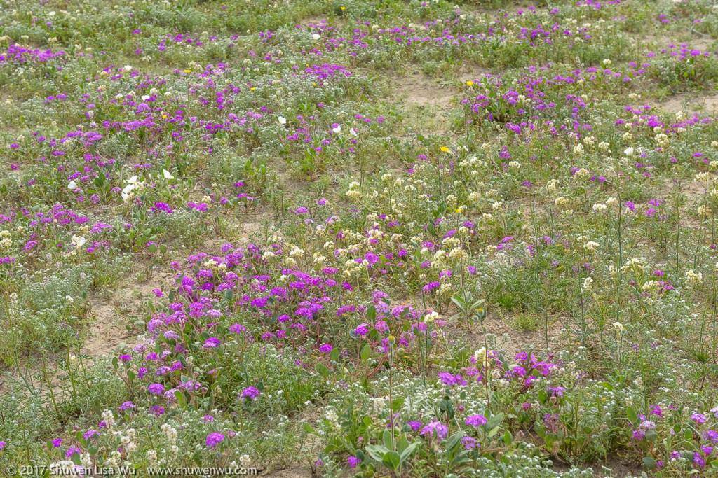 Desert Wildflowers along Henderson Canyon Road, Borrego Springs, California. March 2017.