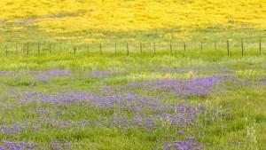 Phacelia, Fence and Daisies, Southern Soda Lake Road, Carrizo Plain National Monument, California. March 2017.