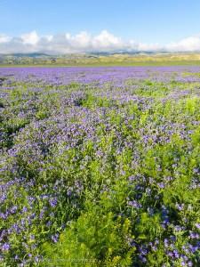 Phacelia Field, Carrizo Plain National Monument, California. March 2017.