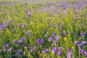 Phacelias, close-up, Carrizo Plain National Monument, California. March 2017.