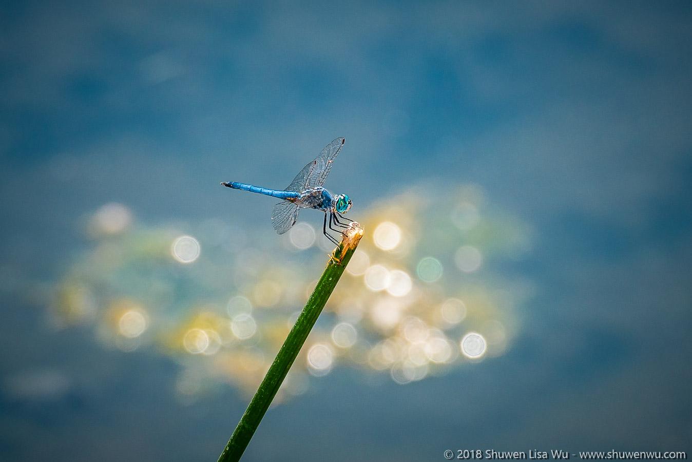 Pachydiplax longipennis (Blue Dasher) at Santee Lakes, San Diego County, California.