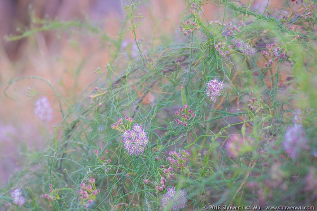 Climbing Milkweed at Coast to Crest Trail