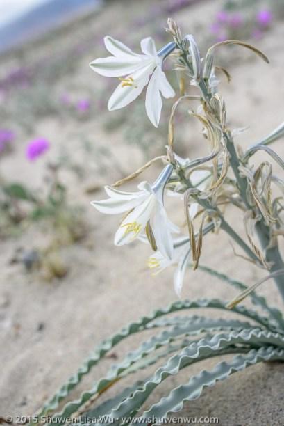Desert Lily (?)