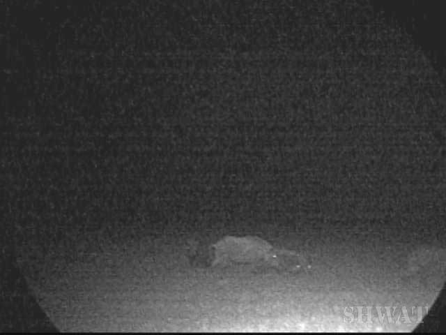 affordable Night vision for hog hunting
