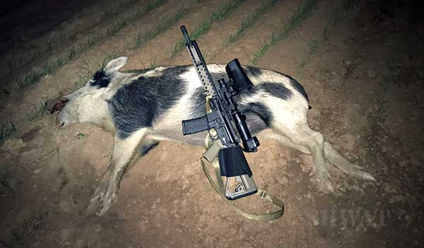 hunting wild hogs with NiteSite night vision