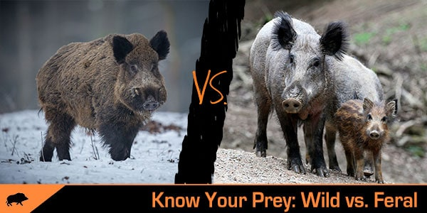 wild vs. feral hog explained