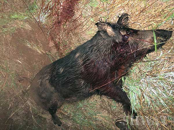 hog hunting with 50 beowulf
