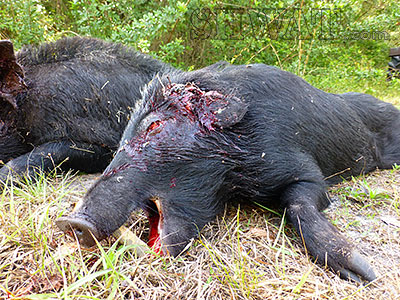 Is 223 Enough Gun For Hogs The Proof Is In The Pig Shwat
