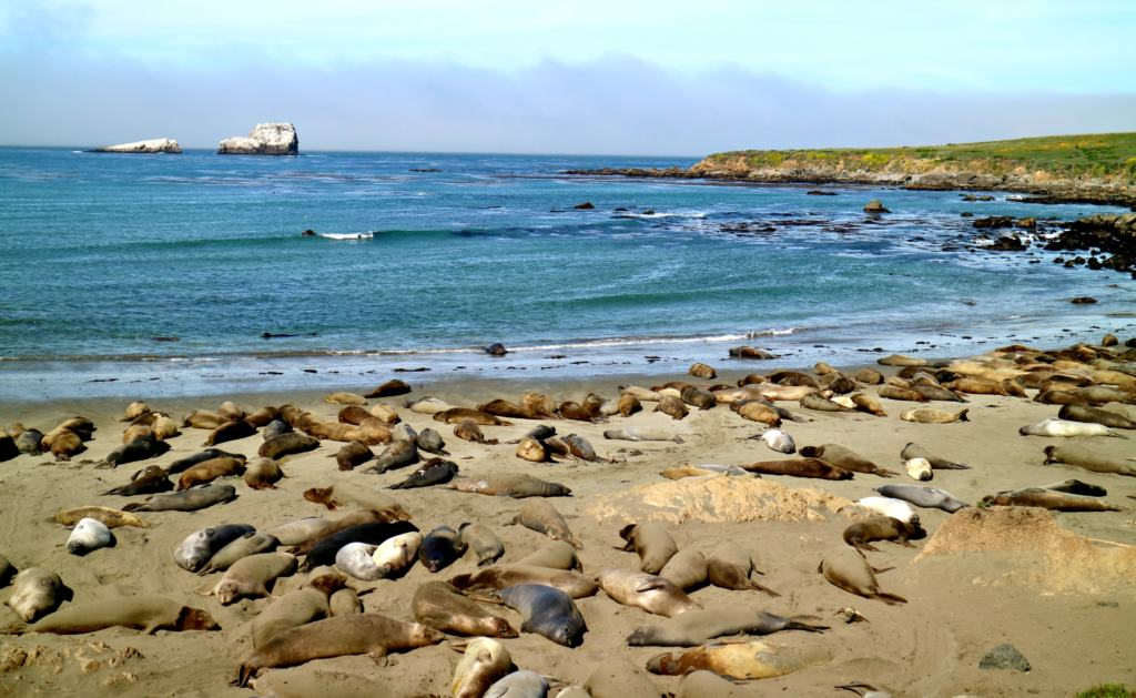 elephant seals on a beach near the big sur on the Pacific Coast Highway
