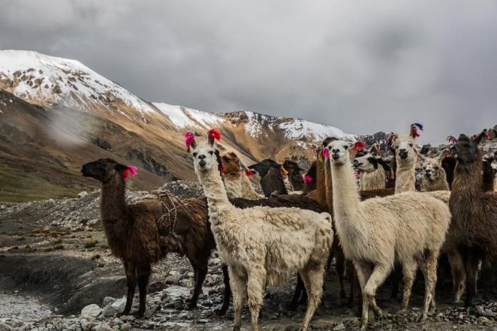 Alpacas in the Vilcanota mountain range, Cusco Region, near Riticucho Peak.