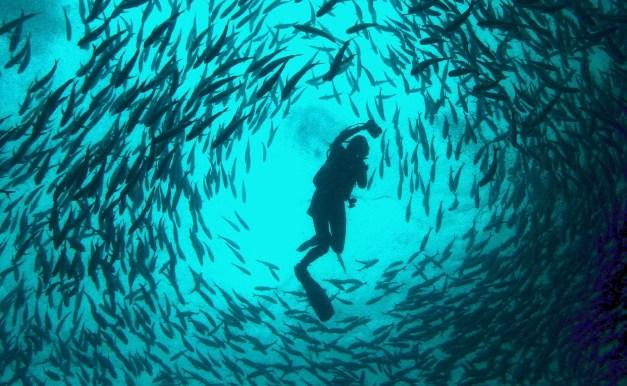 Image result for dance fish in sipadan