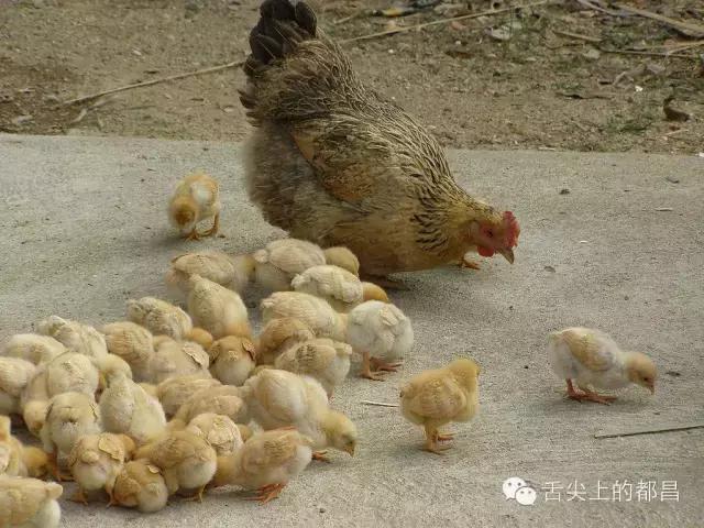 都昌農村母雞孵小雞過程,小時候你肯定見過 - 每日頭條