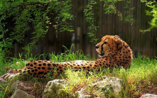 印度豹是陸地上速度最快的動物。也歷史最久最獨特和特異化的品種 - 每日頭條