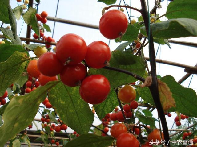 新鮮事。茄子樹上結出番茄和辣椒?這真是神技術! - 每日頭條