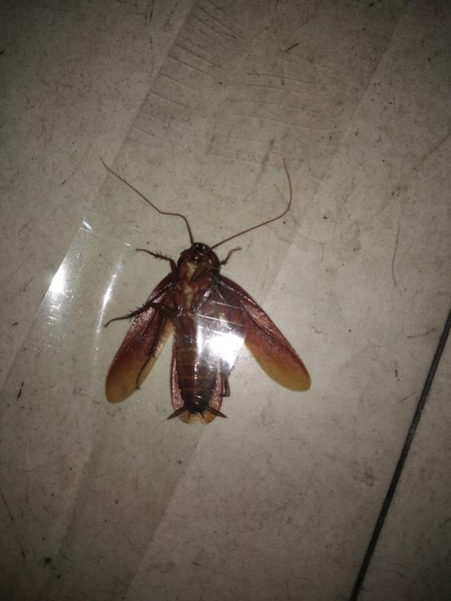 會飛的蟑螂 - 每日頭條