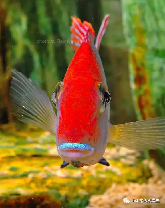 新手養魚。觀賞魚。好看好養的十大淡水觀賞魚推薦 - 每日頭條