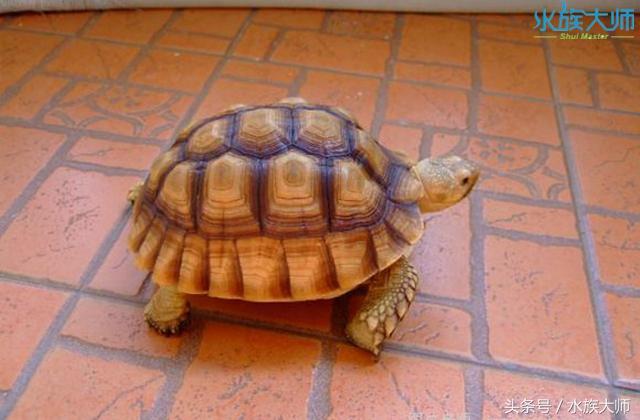 寵養中常見的10種陸龜。養一隻也不錯 - 每日頭條