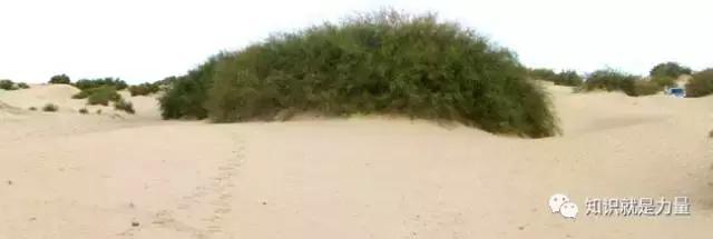 沙漠中的「勇士」:5種塔克拉瑪干沙漠中的特有植物 - 每日頭條