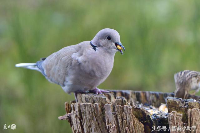 讓鴿子安全過冬的妙招只有這三點 - 每日頭條