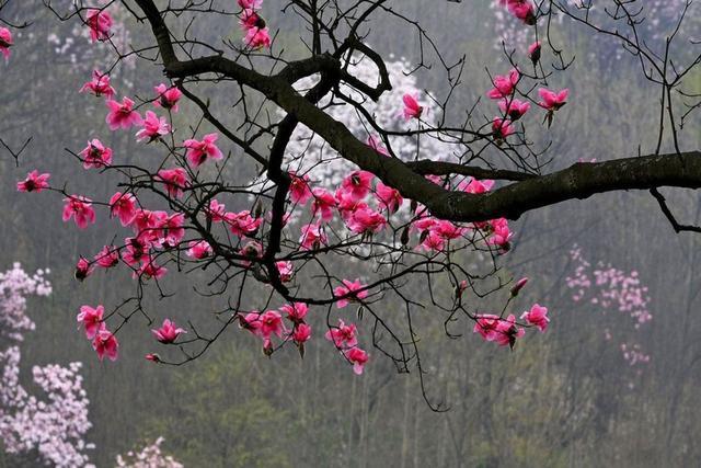 席慕容《一棵開花的樹》 經典解讀愛情塵緣 - 每日頭條
