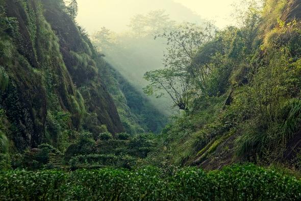 tea gardens in Wuyi zhengshan territory