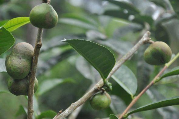 Samen des vietnamesischen Shan Thuyet (Snbow High Mountain) Teebaums