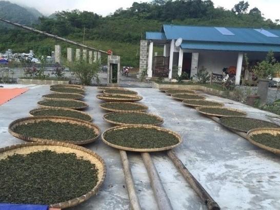 Schritt 2: Teeblätter für Tra Pai Hao Tee welken im Freien