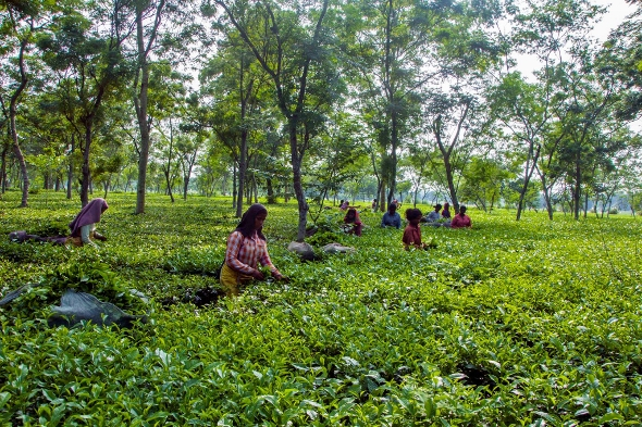 Pflückung im Doke Teegarten, Bihar, Indien