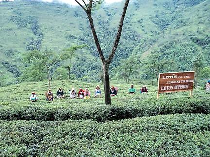 Erntezeit im Jungpana Teegarten