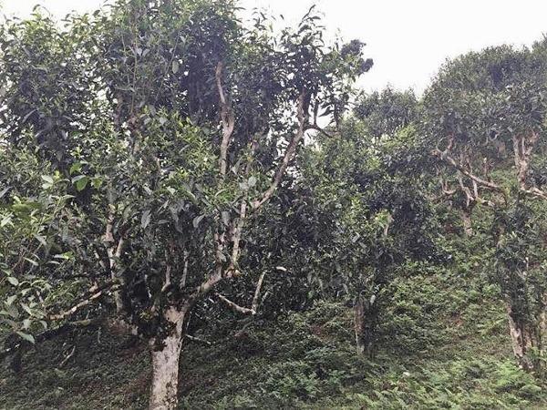 Ancient Snow Shan Teebaum-Garten, Ha Giang, Nordvietnam