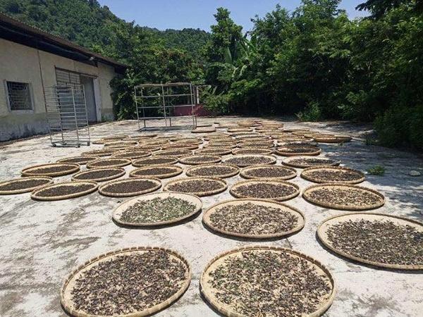 Endtrocknung der Teeblätter in der Sonne
