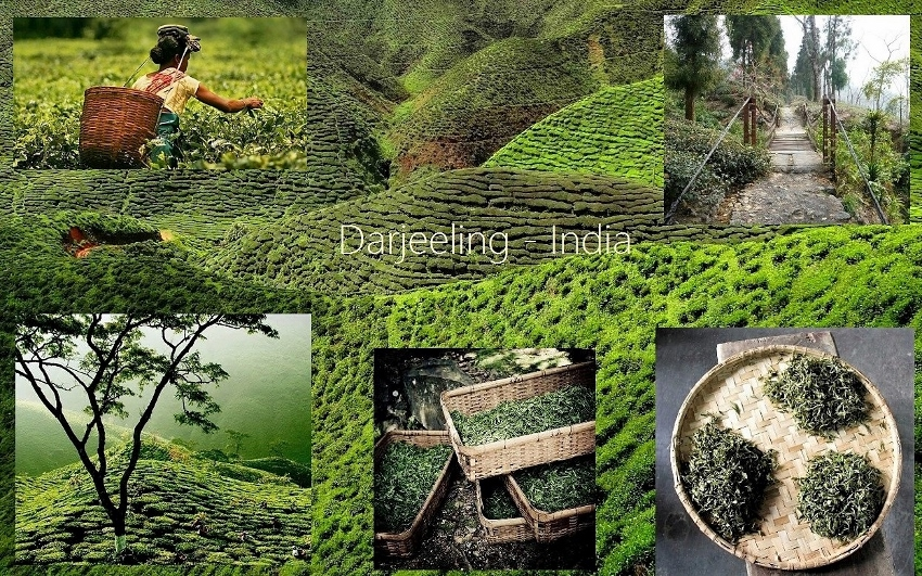 Darjeeling Tea - Tea Cultivation in Darjeeling