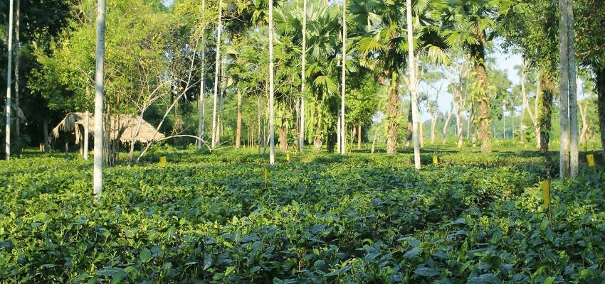 Latumoni tea garden, Assam, India - close-to-nature cultivation, handpicking, traditional processing