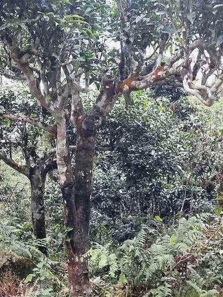 Wild wachsende Teebäume in Nordvietnam