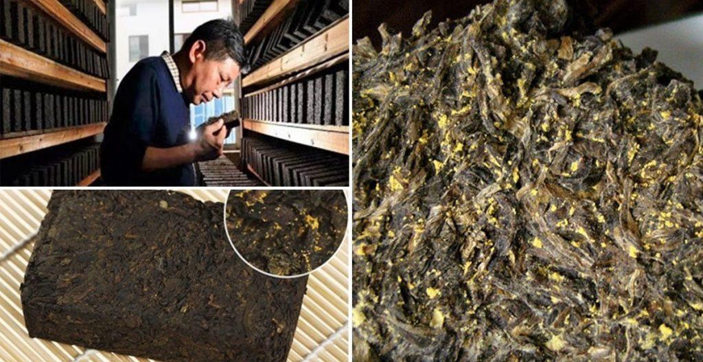 """""""Fahua"""" - inoculation of Eurotium Cristatum in Fuzhuan Dark Tea as a last step of processing"""