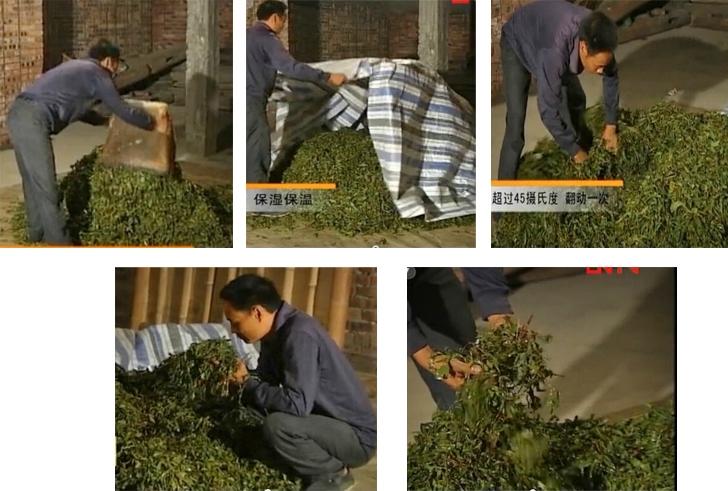 Wet-Piling / Wo-Dui in dark tea processing