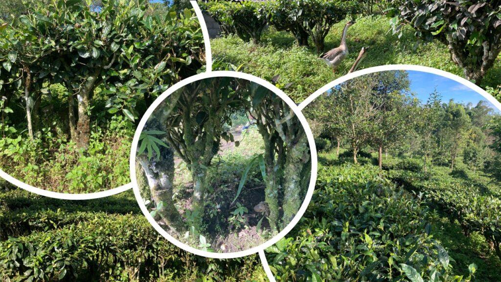 Pu Erh Tea - Tea Garden
