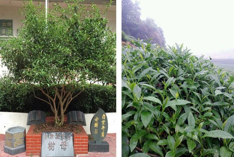 Bai Ya Qi Lan - mother bush and descendants