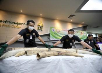 Saisie de 31 défenses d'éléphants à Suvarnabhumi