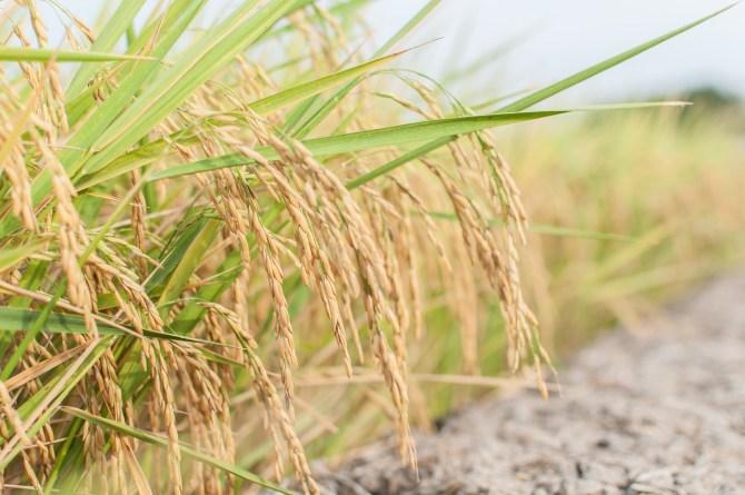 La Thaïlande a connu une diminution de plus de 7 % de ses exportations de riz au mois de juillet 2018