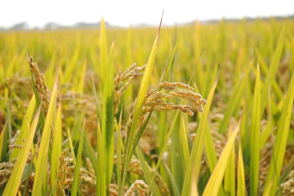 Le riz chinois bon marché menace les exportations thaïlandaises