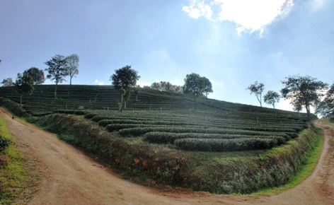 Doi Mae Salong tea garden